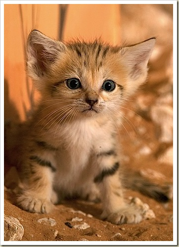 Sand Cat Kitten – Felis margarita